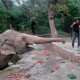 Благодаря певице Шер в Пакистане освободили «самого одинокого слона»