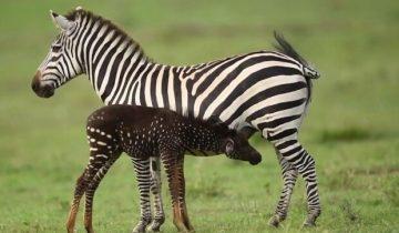 Леопардовые пятна вместо полосок: в Кении нашли уникальную зебру