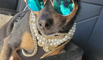 Украшения и леопардовые платья: женщина потратила $10 тысяч на наряды собаки из приюта