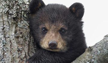 Лесник спас медвежонка из капкана, вылечил его, а спустя 5 лет он вернулся