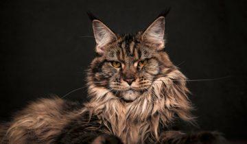 3 самых шикарных породы крупных котов