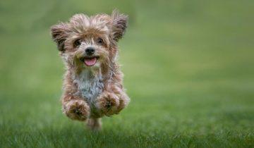 Топ 5 красивых пород дизайнерских собачек, о которых вы раньше не слышали