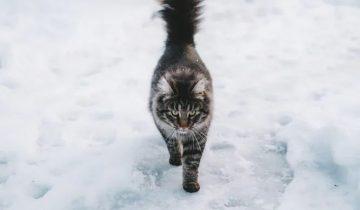 Шесть кошек побежали за хозяином гулять по тонкому льду
