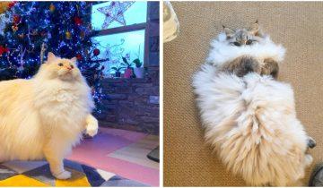 Невероятно пушистые коты, которые на ощупь словно облако