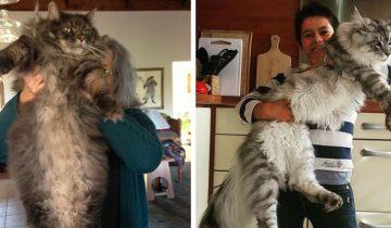 Люди откормили котов, а теперь не знают, как совладать с этими тушками