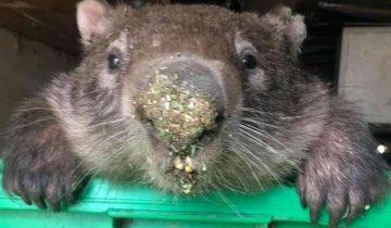 Вомбат, которого спасли и отпустили в дикую природу, вернулся и украл еду