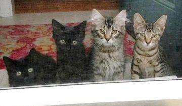 Муж и жена на время взяли 4 котенка, а затем так и не смогли их отдать