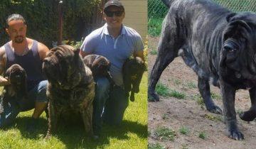 Мужчина вывел древнюю породу собак, жившую в 5000 году до н.э., — и она весит 100 кг