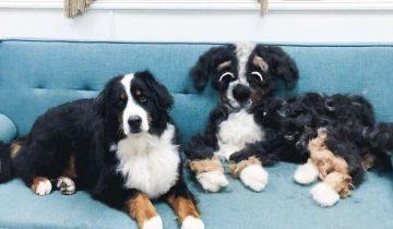 10 фото того, насколько сильно линяют собаки, когда шерсть стала новым членом семьи