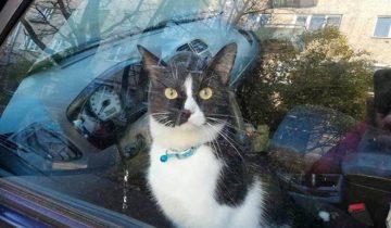 Кота Фунтика, закрытого в машине, спасли. А в это время хозяин искал его в другом месте