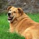 8 пород собак, которые очень легко набирают вес