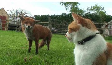 Две лисички спаслись от охоты в чужом дворе, а затем подружились с владельцем