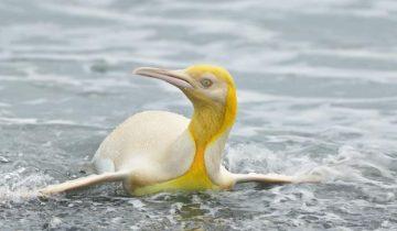 Единственный желтый пингвин впервые попал на фотографии