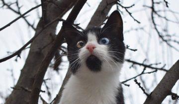 Разноглазая кошка, сидела на дереве и тянула ко мне лапки