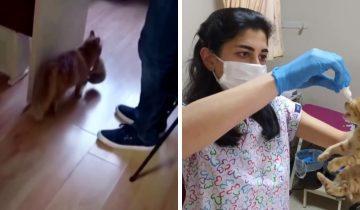 В Турции бродячая кошка пришла к врачам вместе с котятами. Они нуждались в помощи