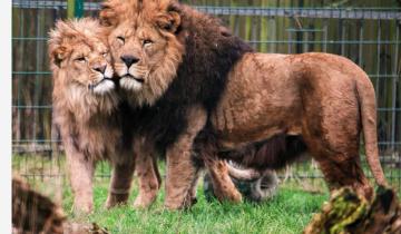 Невозможно возможно: львенок рано лишился матери и его воспитанием занялся отец