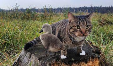 Деревенский кот, принес крошечного лебедя к одиноким старикам. Они решили спасти птицу