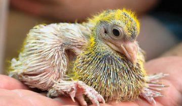 Почему люди никогда не видят птенцов голубей? Они что их прячут?