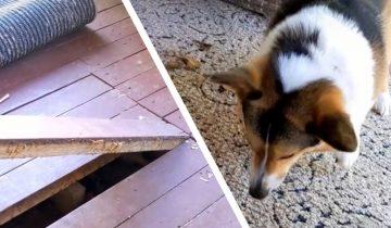 Собака долго лаяла на ковёр и была права, под полом были нежданные гости
