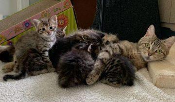 Старый кот стал нянькой для приёмных котят, и это им очень помогает